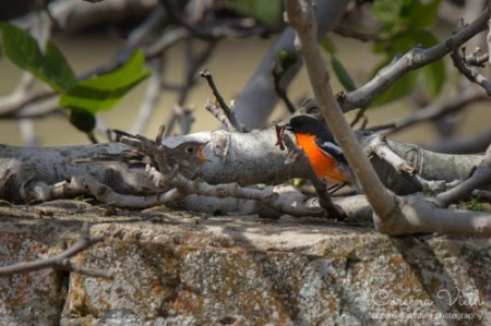 flame-robin-chick-blog