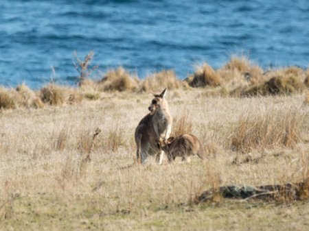 forester-kangaroos-blog