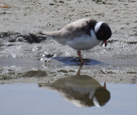 hooded-plover-blog