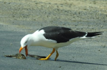 pacific-gull-with-fish-blog