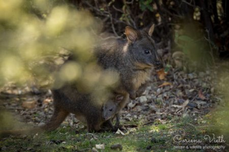 pademelon-joey-blog