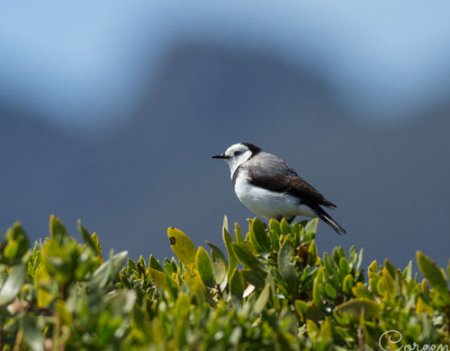 white-fronted-chat-blog
