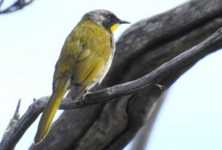 yellow-throated-honeyeater-blog