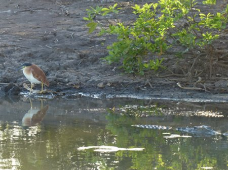 10-nankeen-night-heron-crocodile-blog