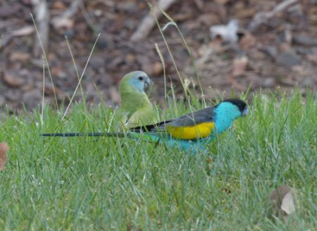 18-hooded-parrots-blog