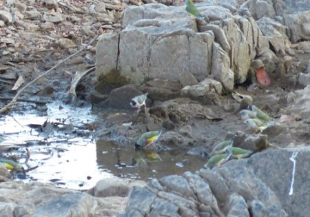 20-gouldian-finches-at-waterhole-blog