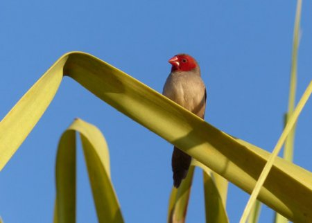 22-crimson-finch-blog