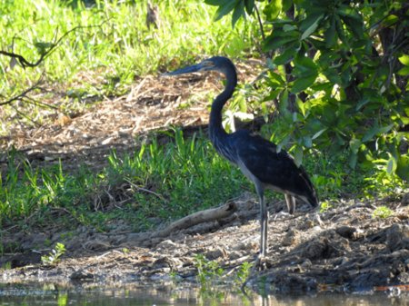 great-billed-heron-blog