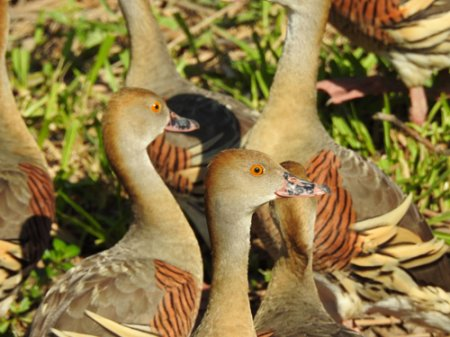 plumed-whistling-duck-blog