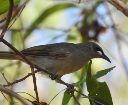 white-gaped-honeyeater-blog